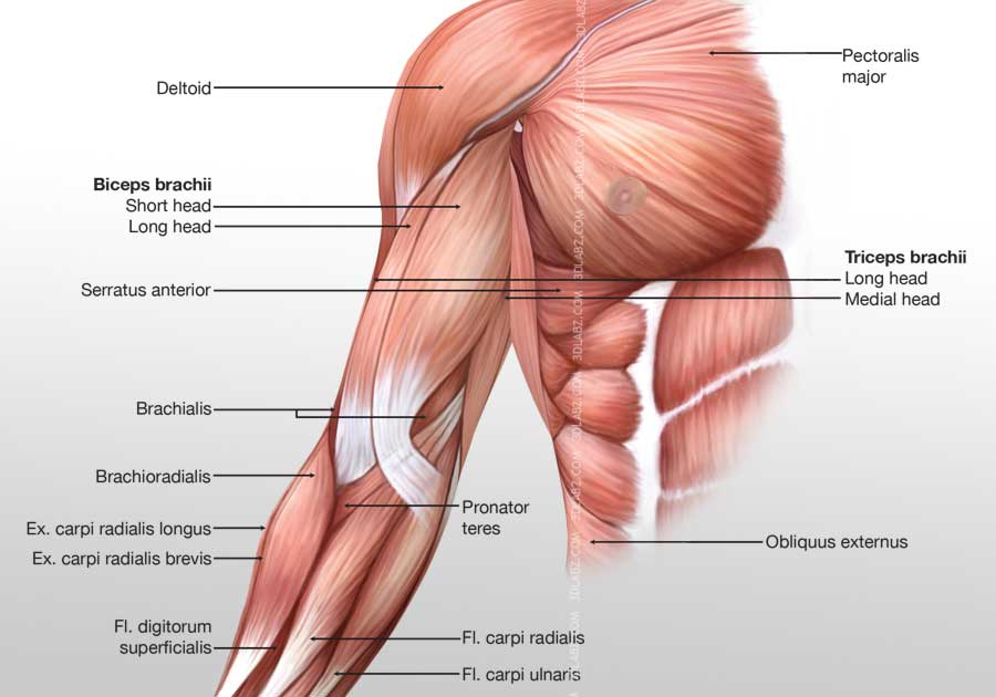 Right Arm Muscle Diagram