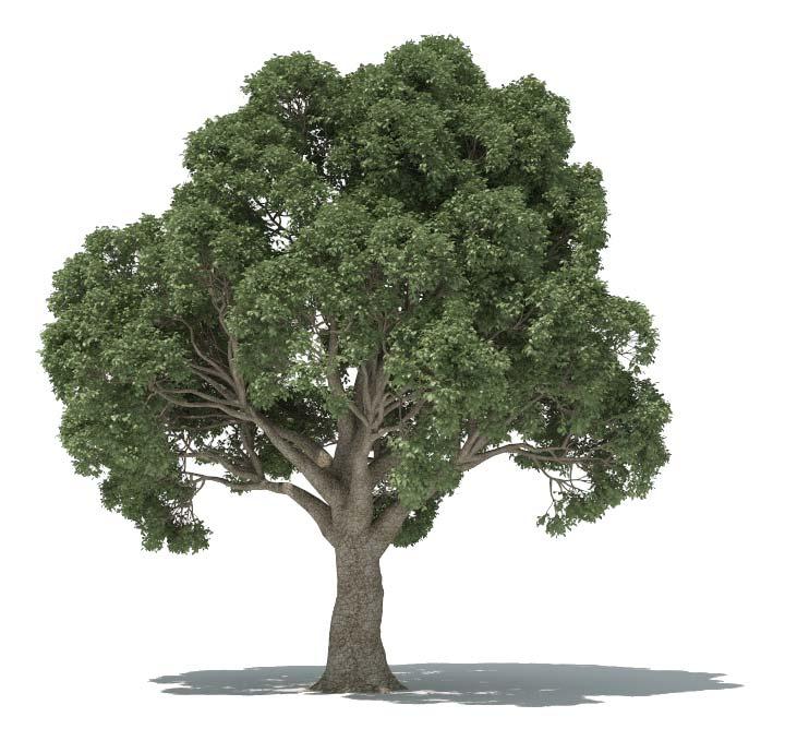 Forester Oak Tree
