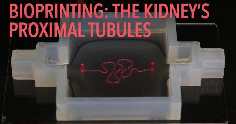 bioprinted kidney proximal tubules