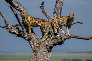 Cheetah brothers in a tree