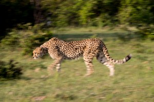 Cheetah stalking from the side