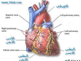 القلب The Heart