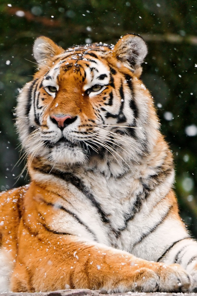 Tiger in the Snow 3Wallpapers Tiger in the Snow