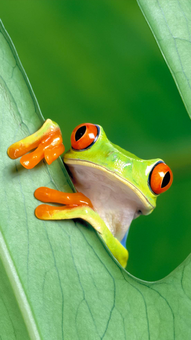 Grenouille 3Wallpapers iPhone 5 Grenouille