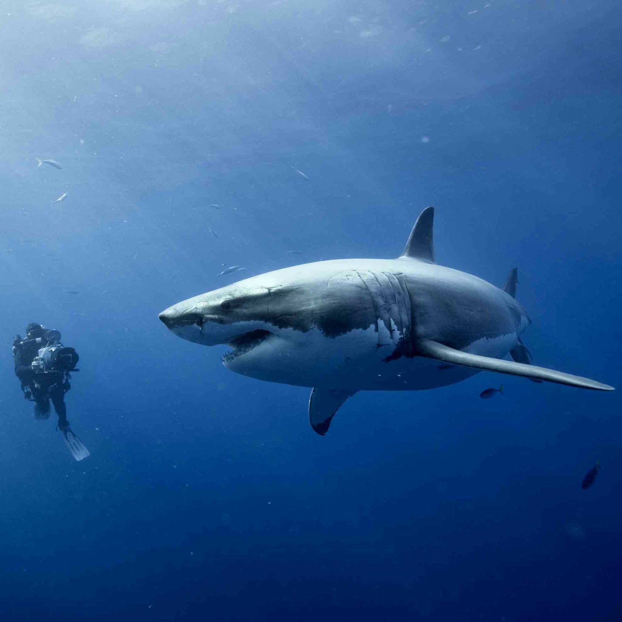 Shark in Ocean 3Wallpapers Shark in Ocean   iPad Retina