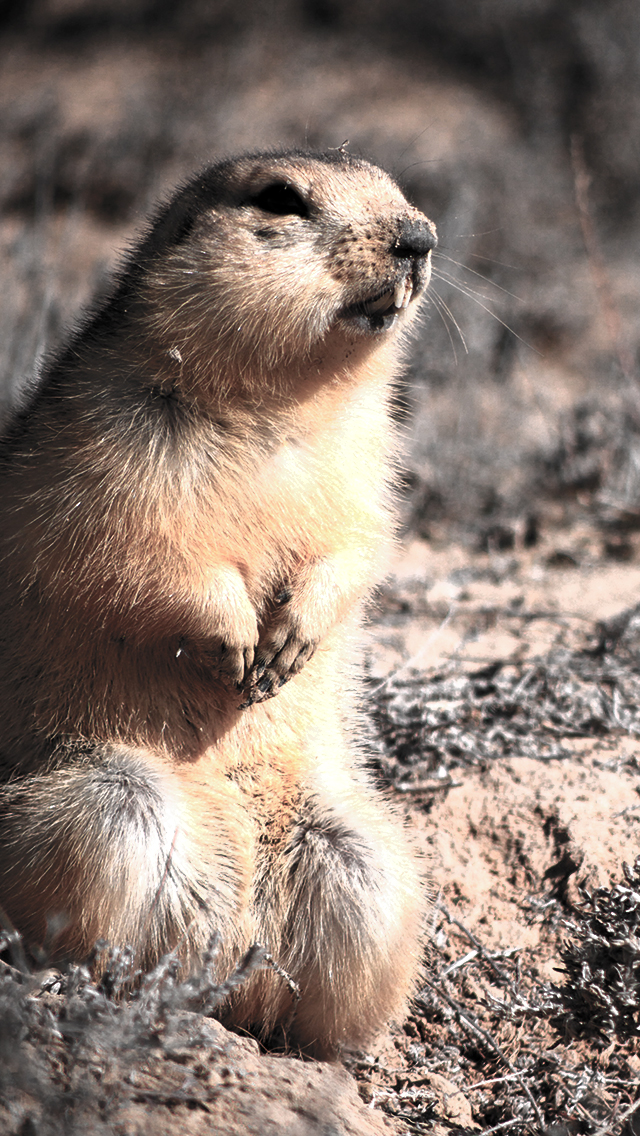 Marmotte 3Wallpapers iPhone 5 Marmotte