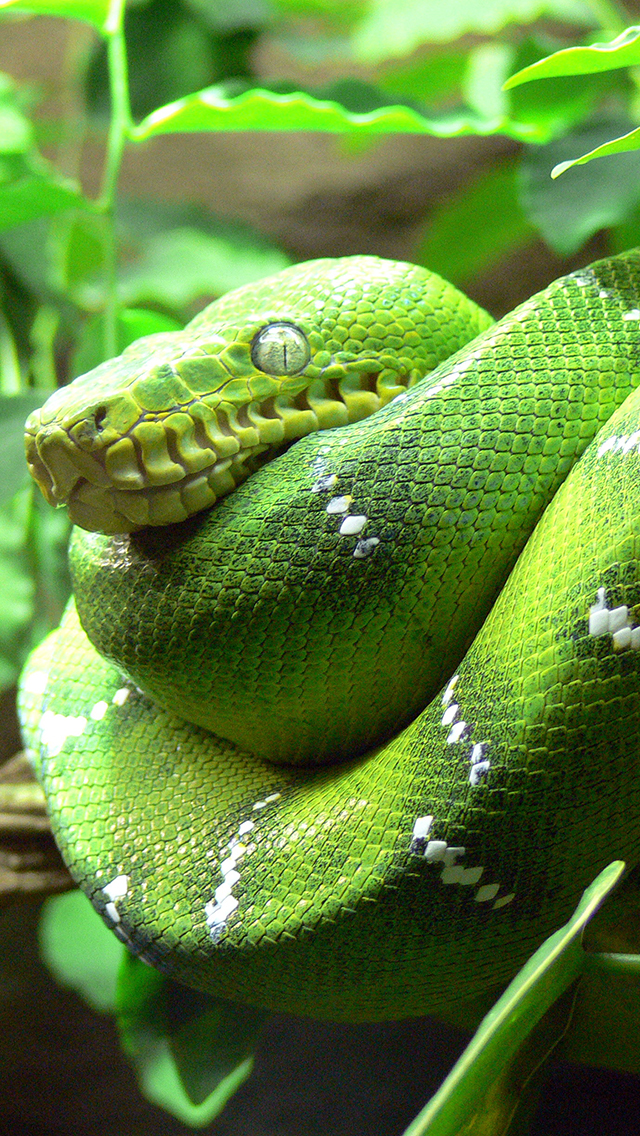 Green Tree Snake3Wallpapers iPhone 5 Green Tree Snake