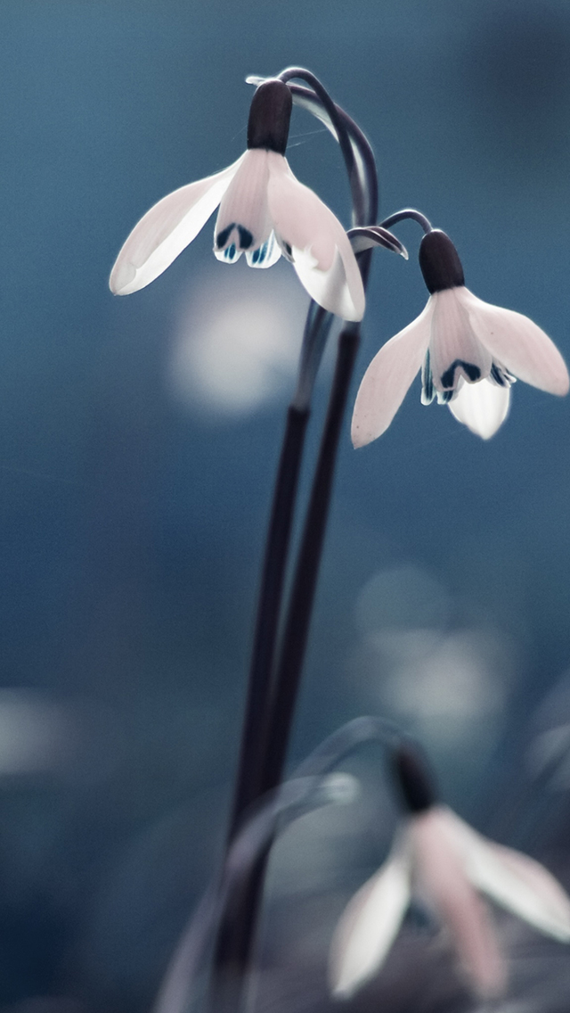 Opened Snowdrops 3Wallpapers iPhone 5 Opened Snowdrops
