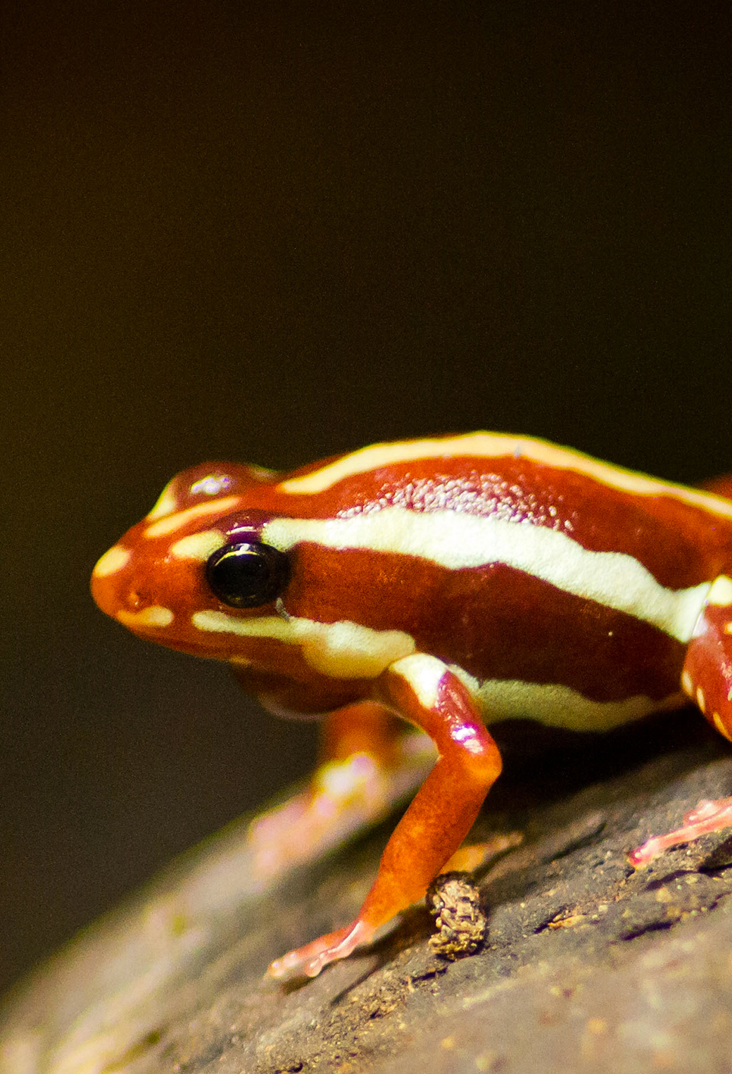 Poison Arrow Frog 3Wallpapers iPhone Parallax Poison Arrow Frog