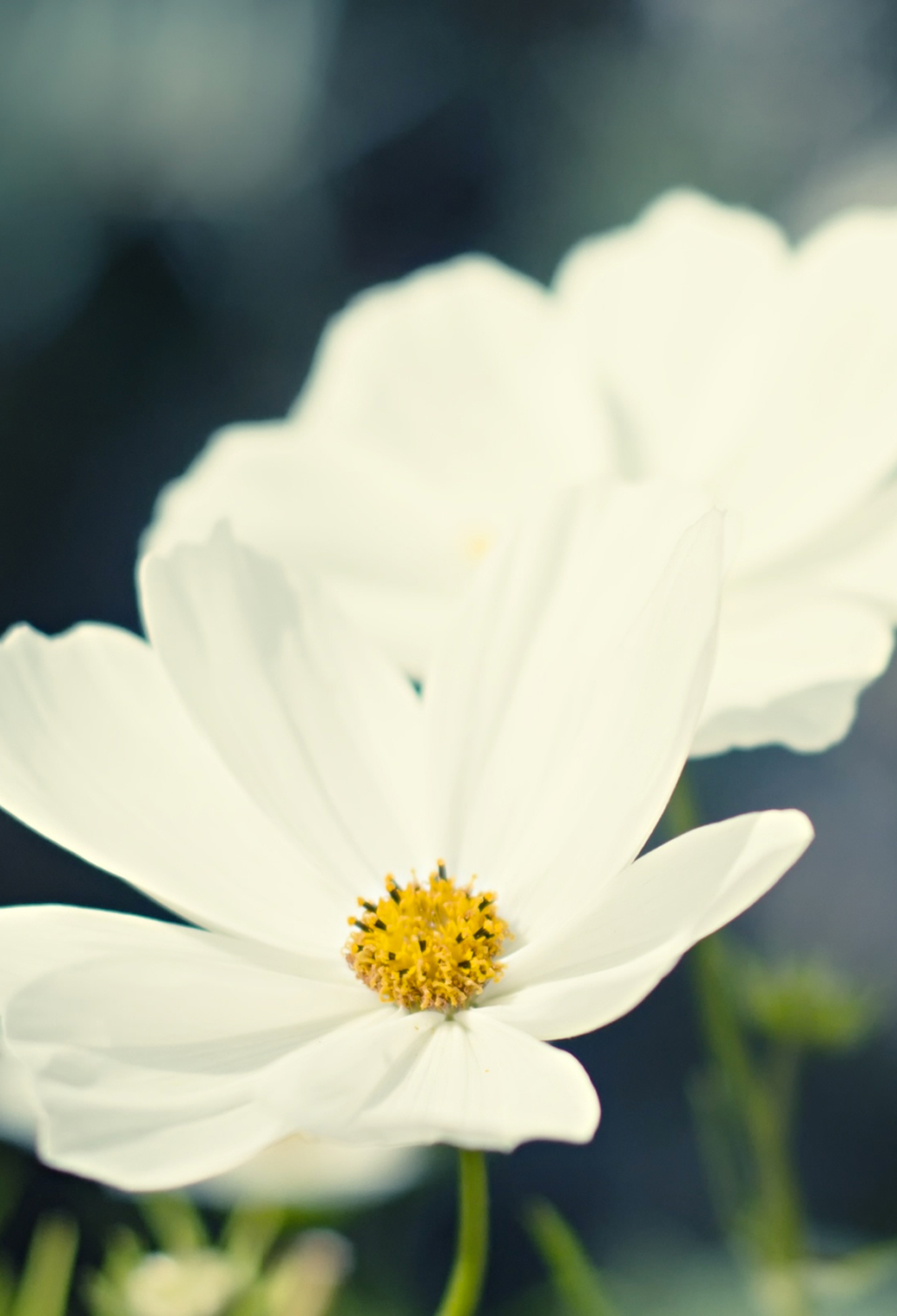 White Flower 3Wallpapers iPhone Parallax White Flower