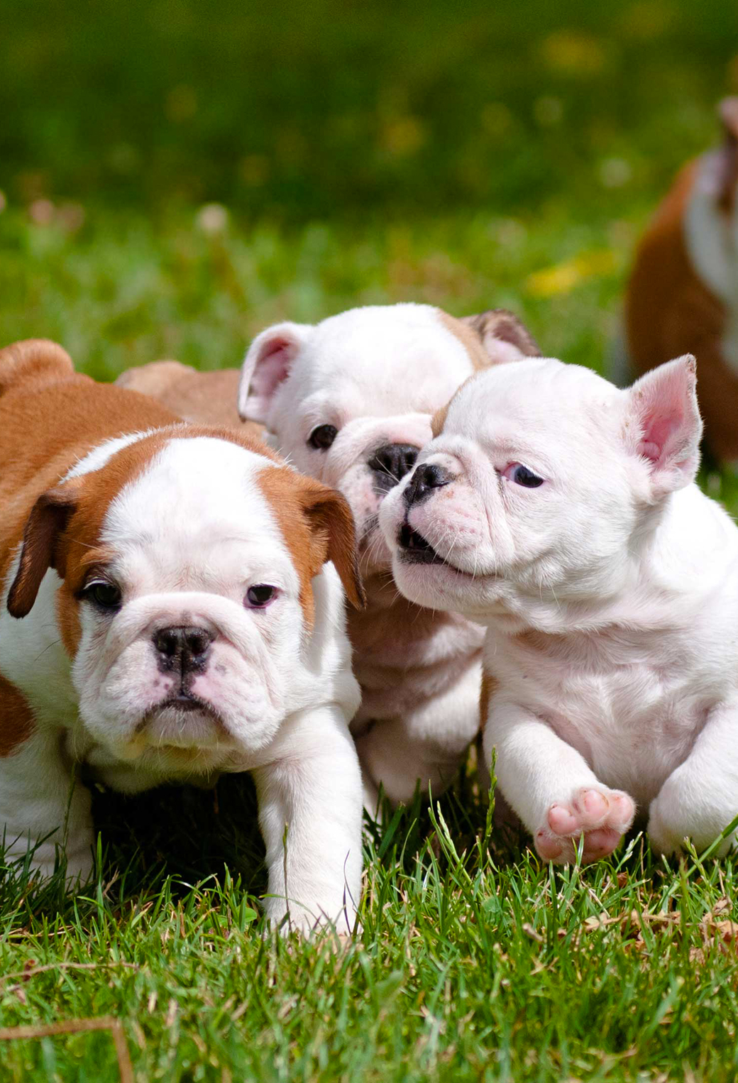 English Bulldog Puppies 3Wallpapers iPhone Parallax English Bulldog Puppies