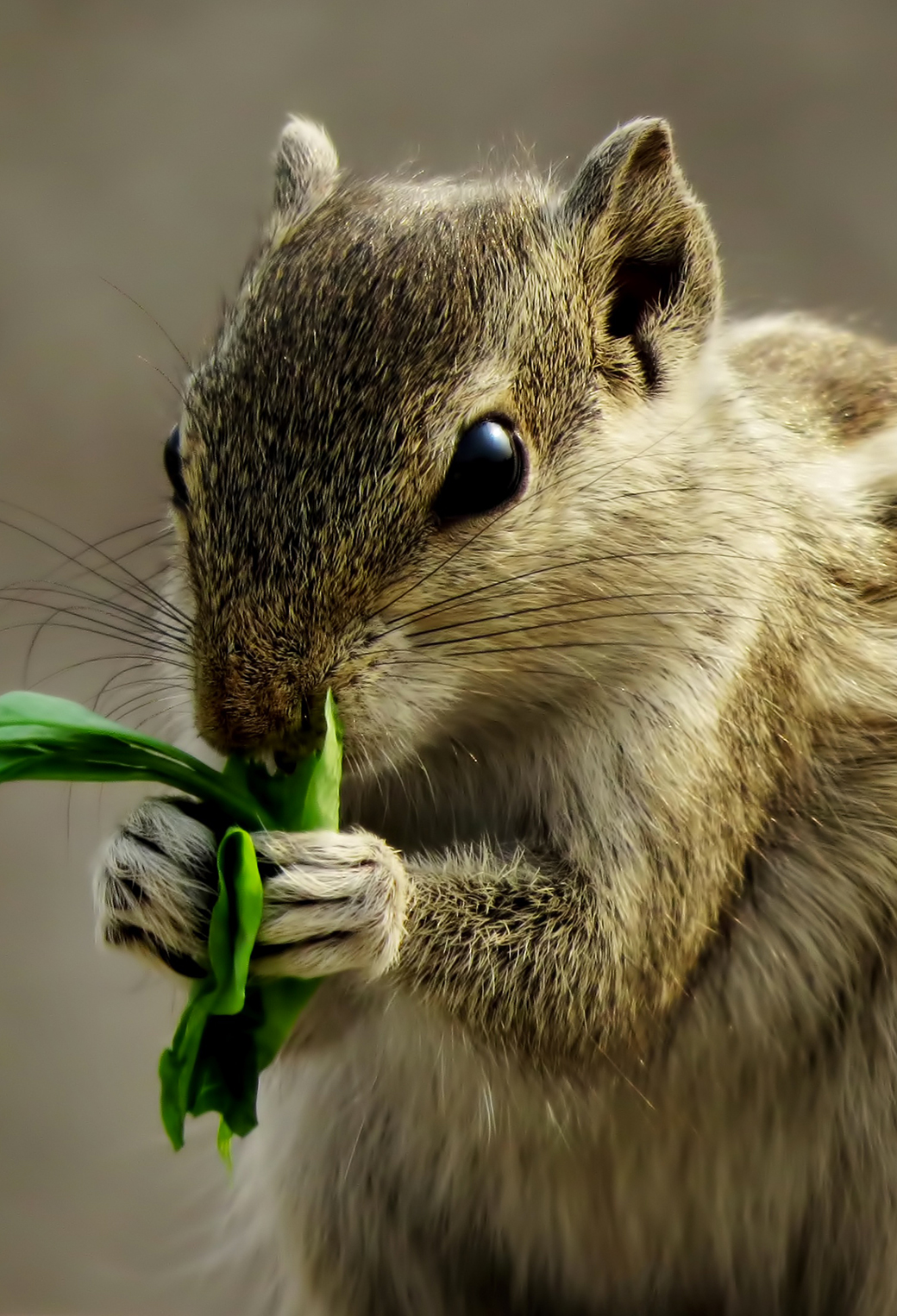 Indian Palm Squirrel Wallpaper for iPhone 11, Pro Max, X ...