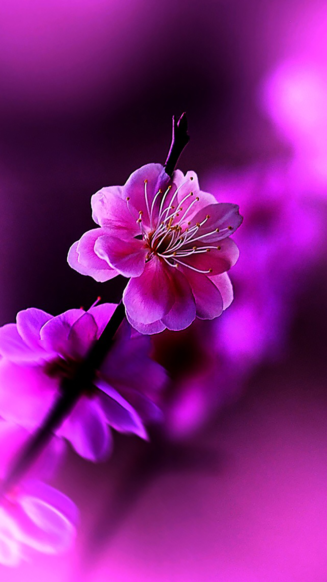 Flowers Violet 3Wallpapers iPhone Parallax Flowers : Violet