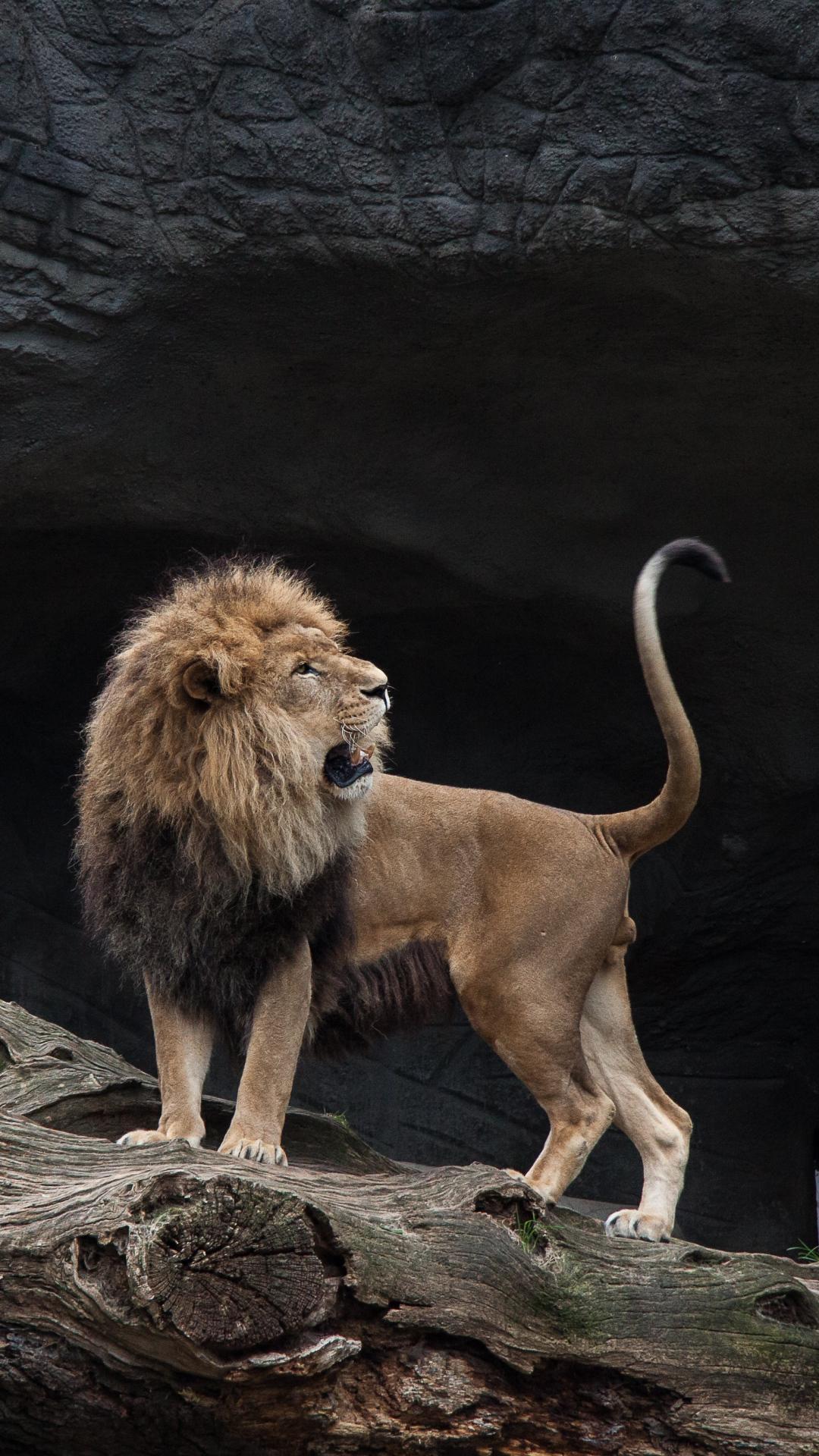 iphone wallpaper lion predator Lion