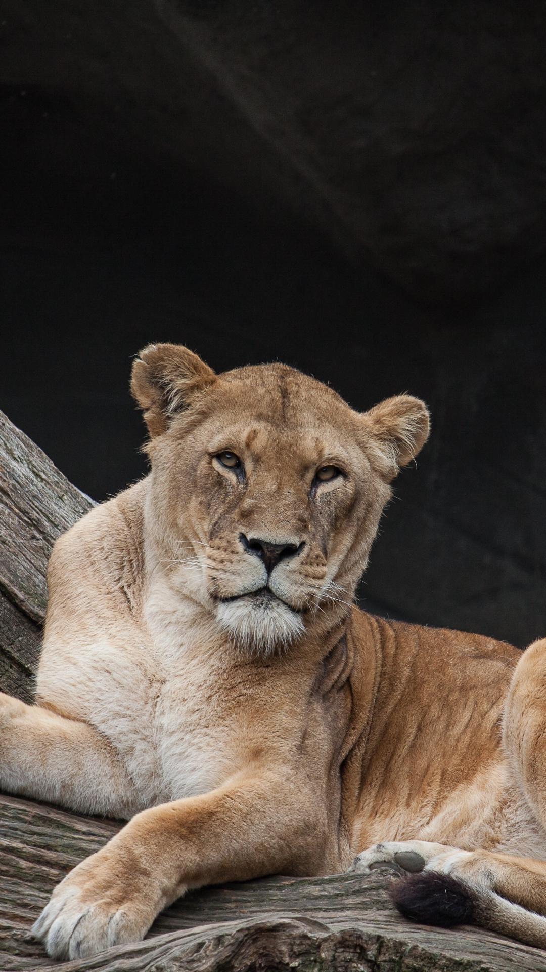 iphone wallpaper lioness lion Lion