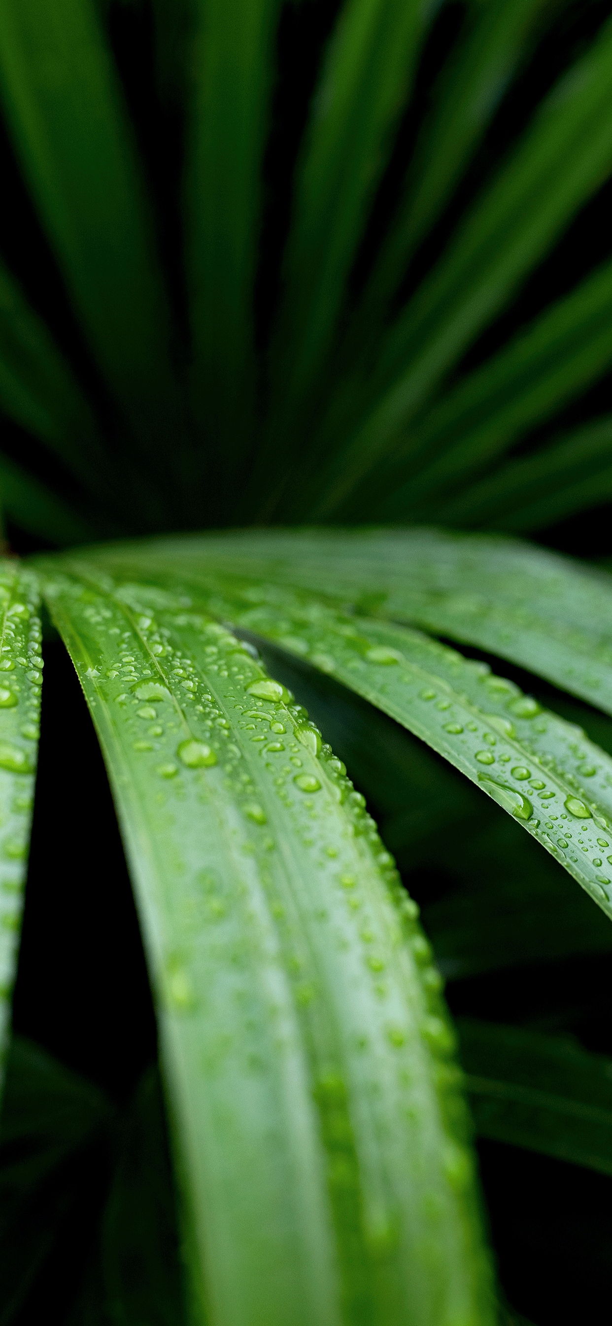iPhone wallpapers plants lady palm Plants