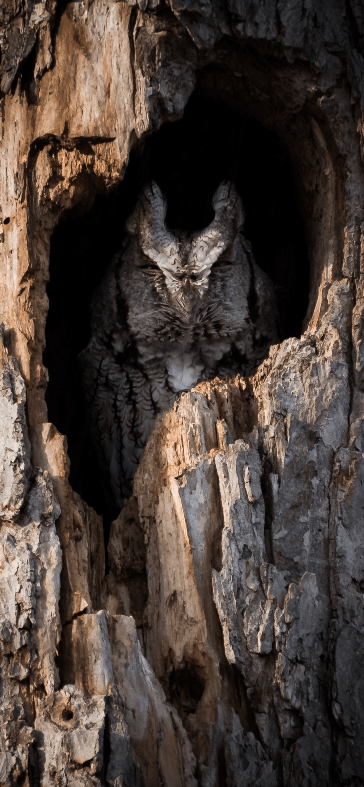 iPhone wallpapers owl tree hole Owl