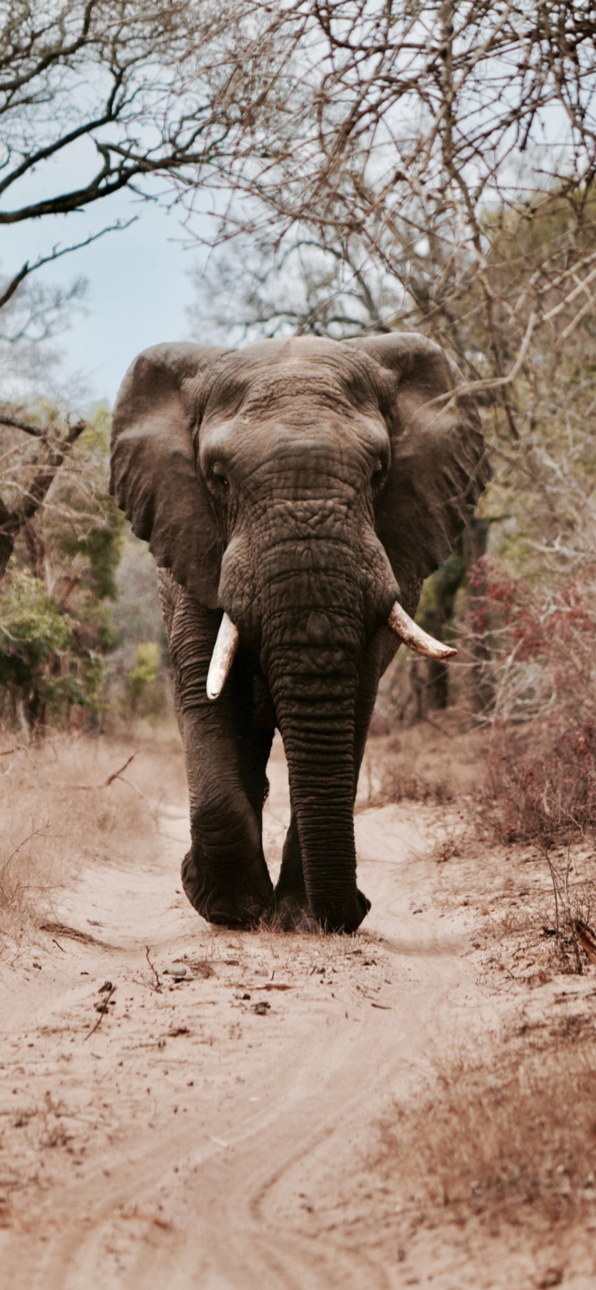 iPhone wallpapers animal elephant africa scaled Elephant