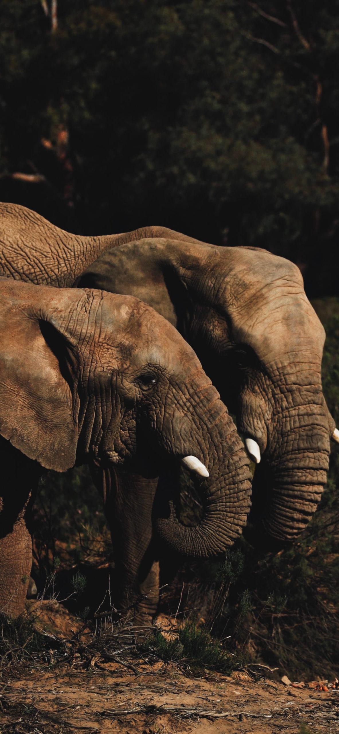 iPhone wallpapers animal elephant couple scaled Elephant
