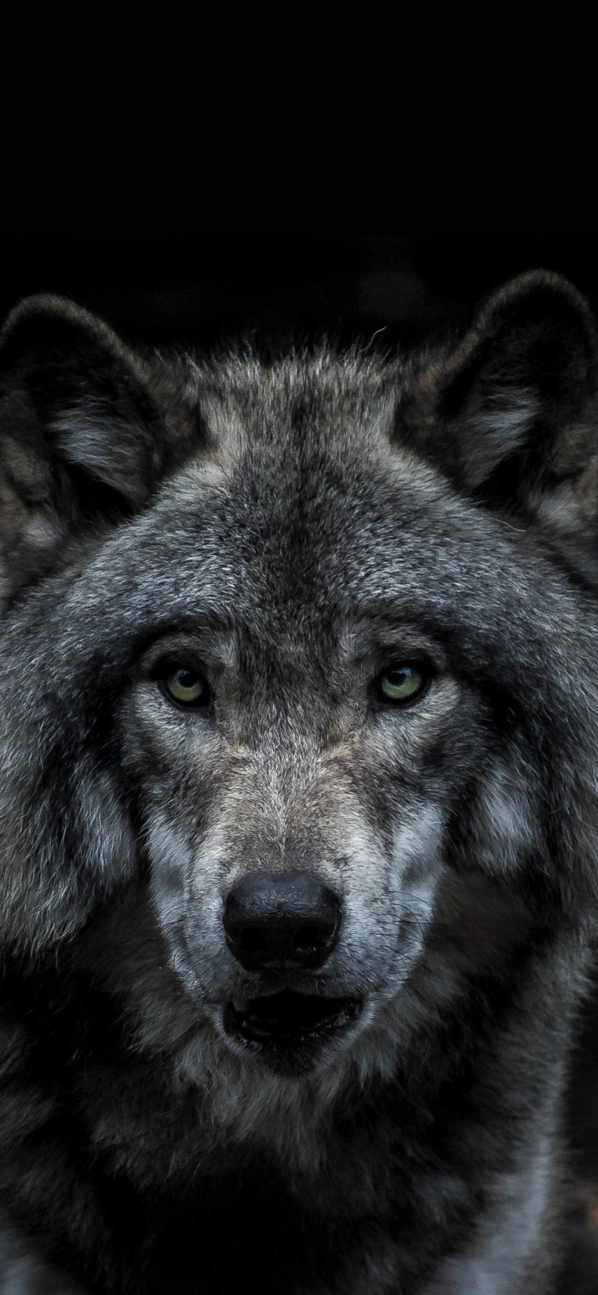 iPhone wallpapers animal wolf black scaled Wolf