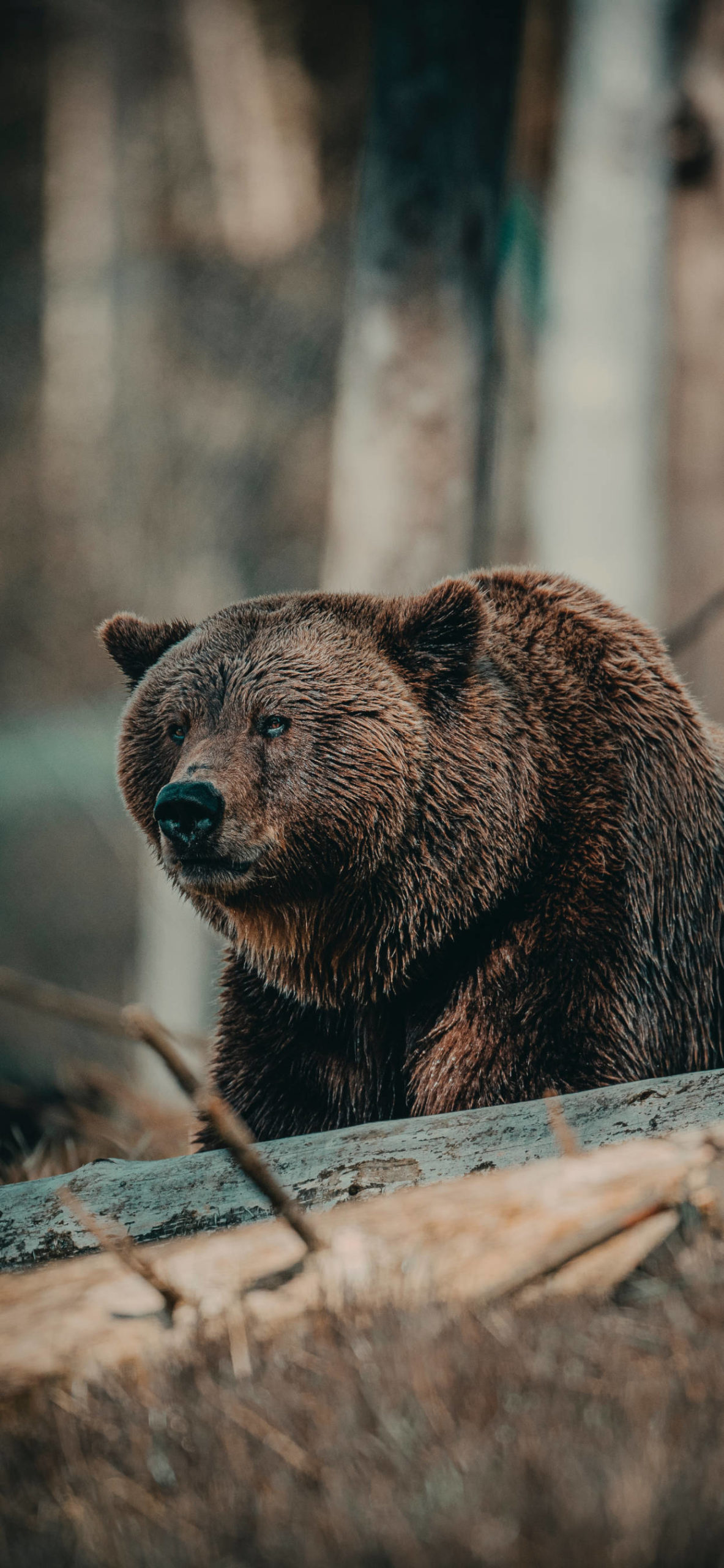 iPhone wallpapers bear sweden scaled Bear