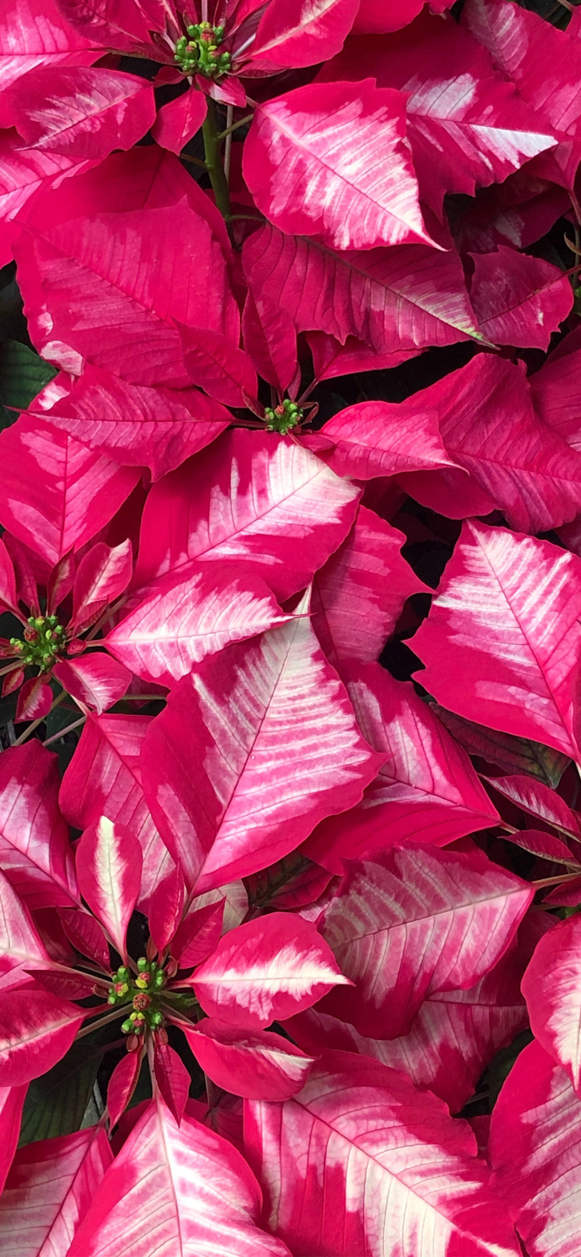 iphone Wallpapers pink poinsettia scaled Poinsettia
