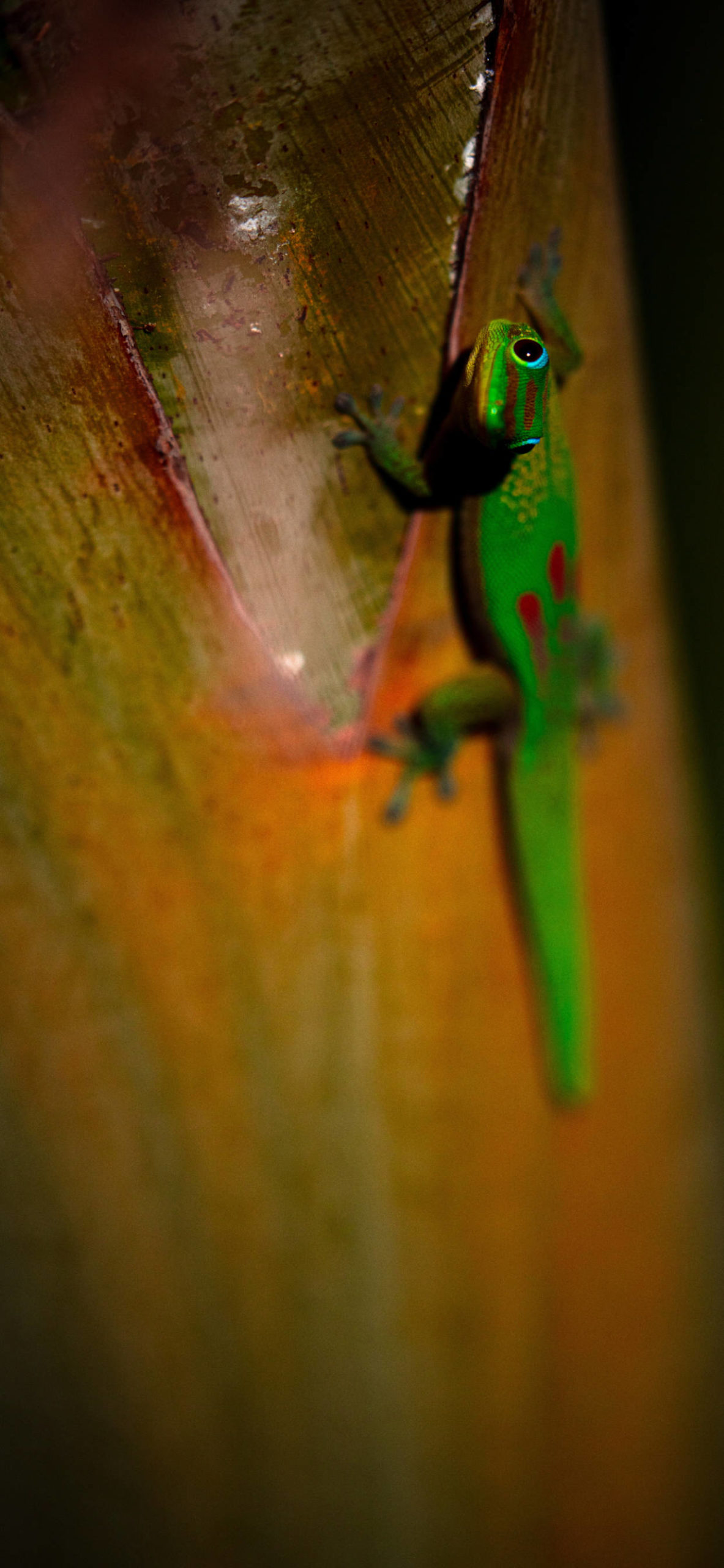 iPhone wallpapers gecko eyes scaled Gecko