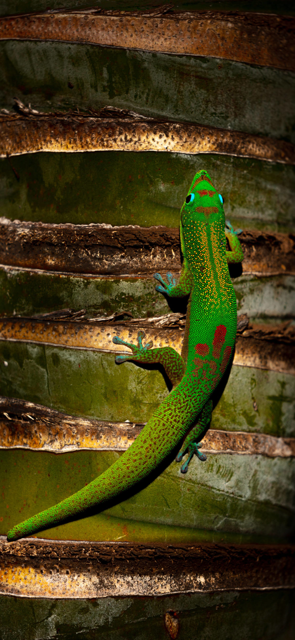 iPhone wallpapers gecko green scaled Gecko
