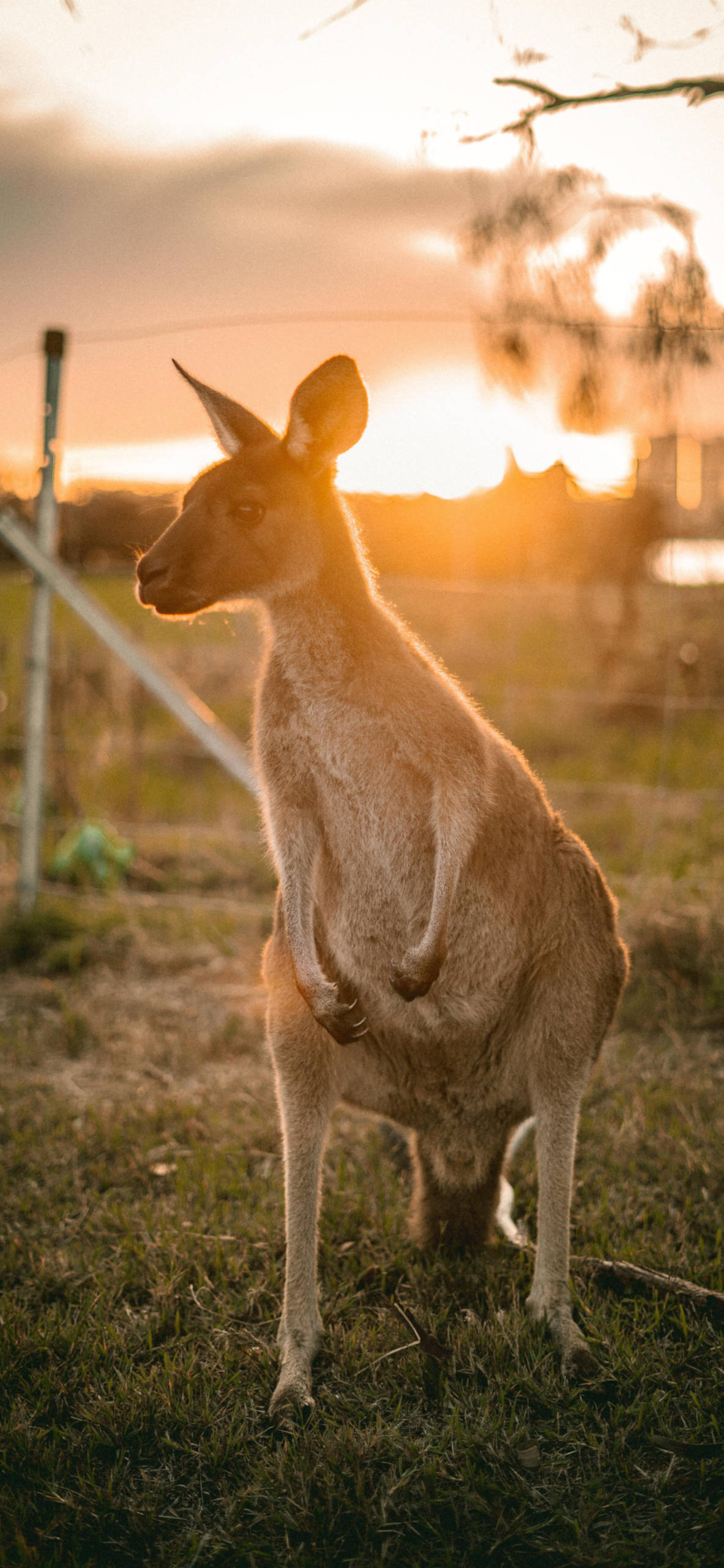 iPhone wallpapers kangaroo looking right sunset Kangaroo