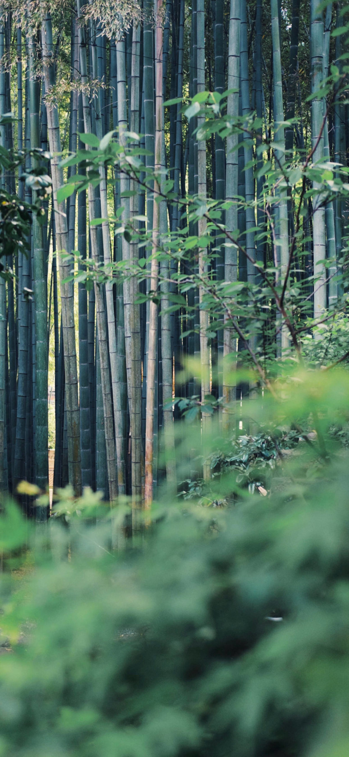 iPhone wallpapers bamboo forest blur scaled Bamboo forest