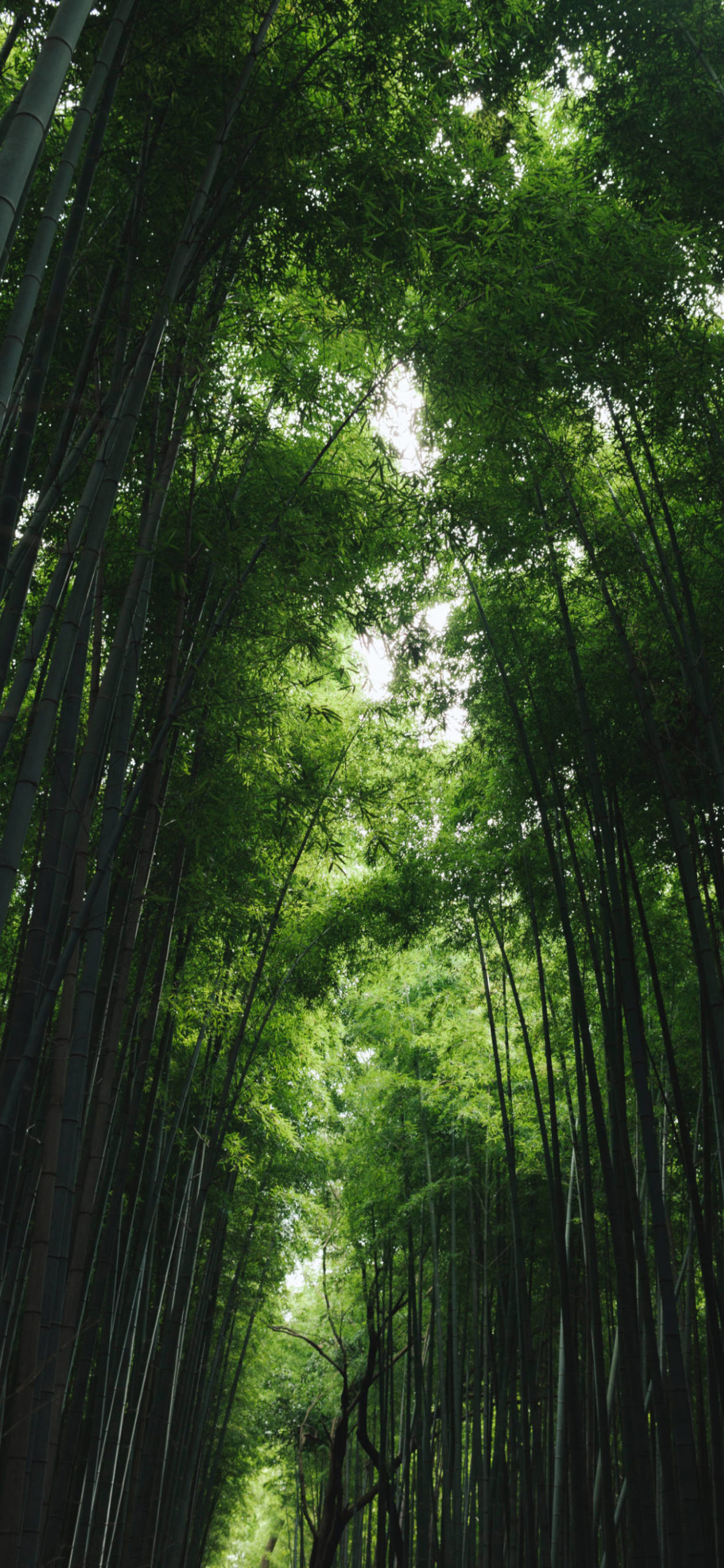 iPhone wallpapers bamboo forest green scaled Bamboo forest