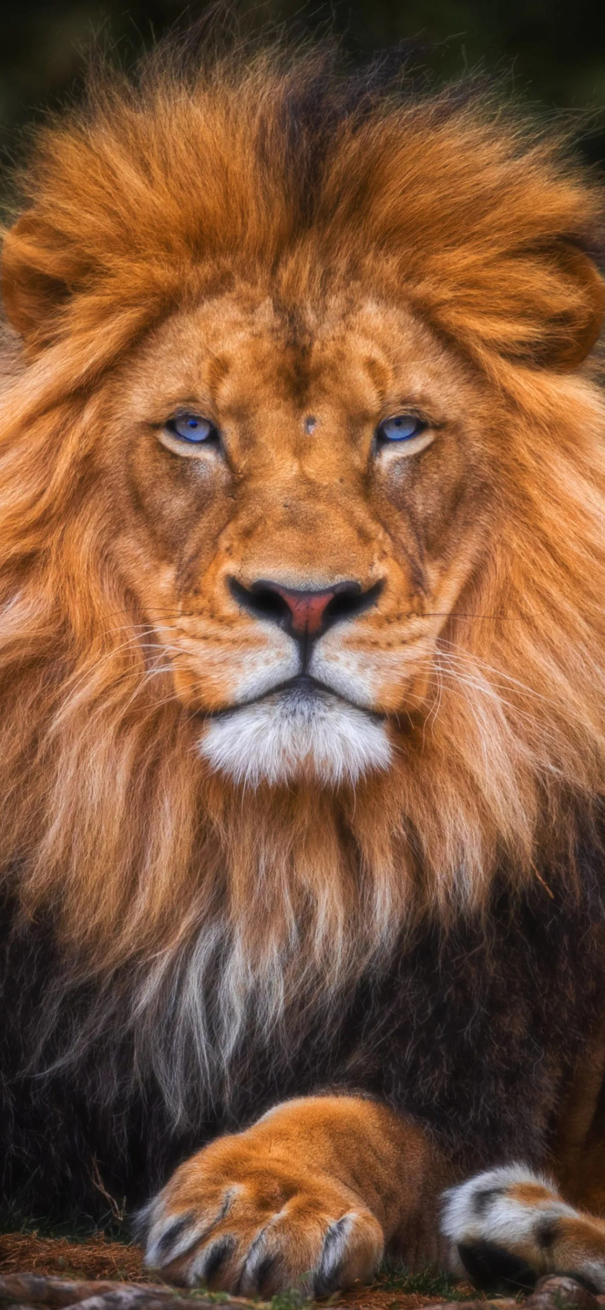 iPhone wallpapers lion eye contact scaled Lion