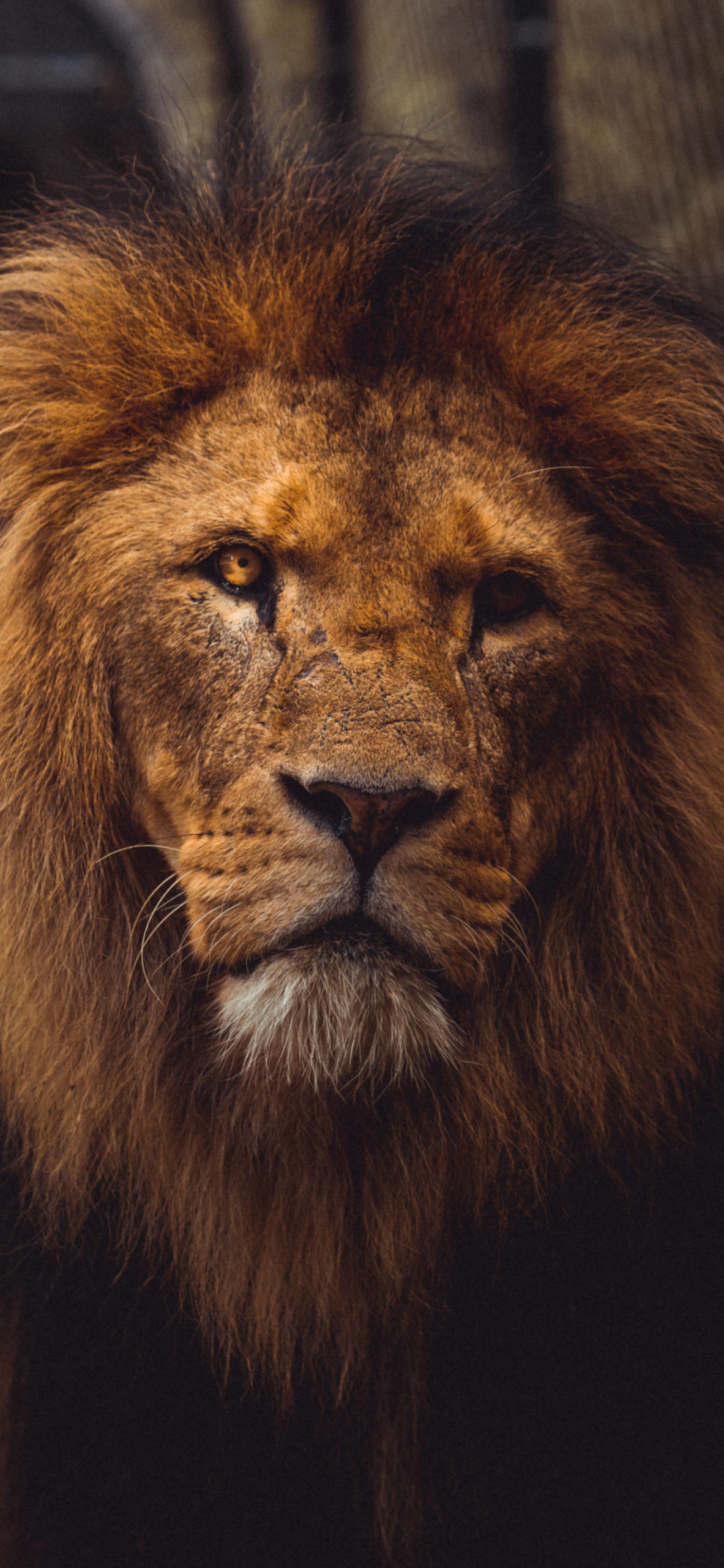 iPhone wallpapers lion old scaled Lion
