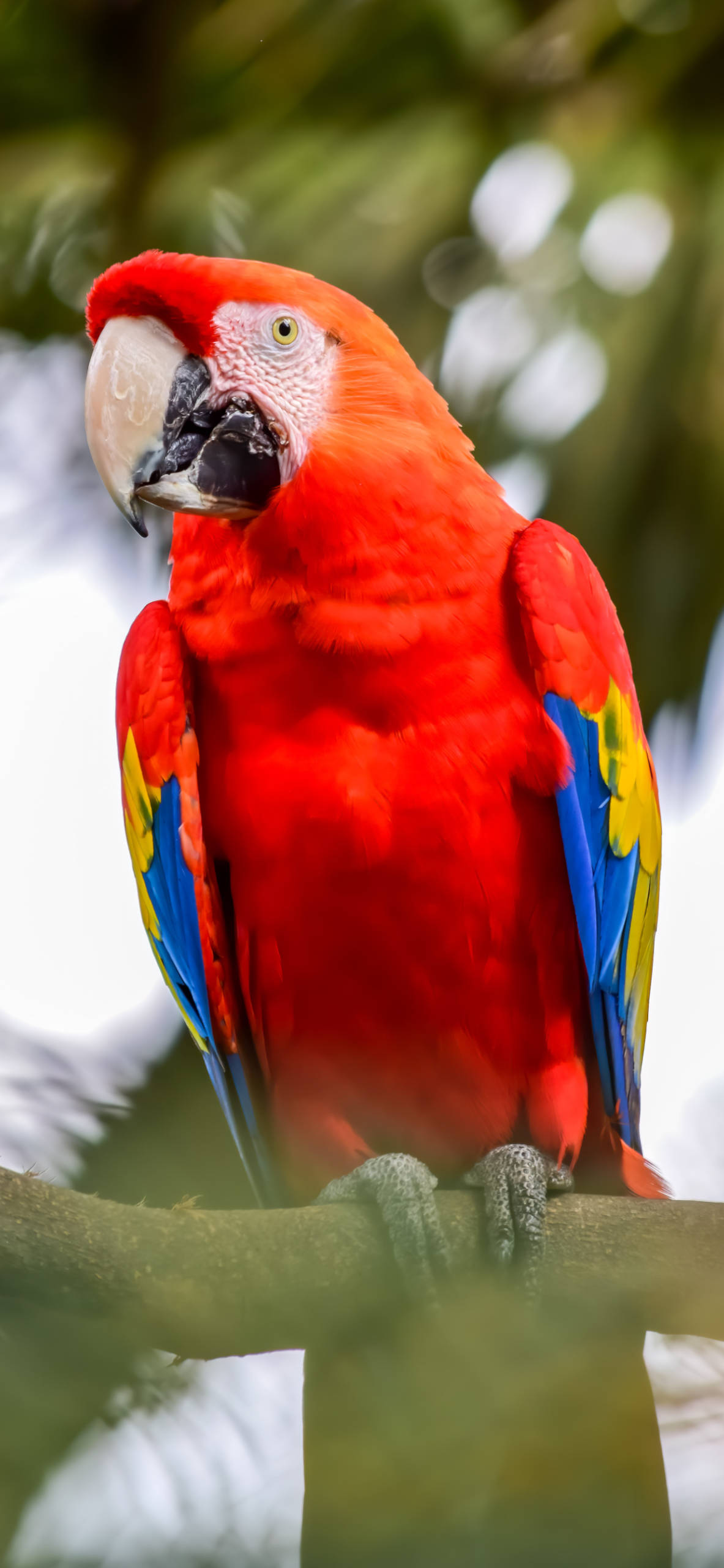 iPhone wallpapers macaw medellin antioquia Macaw