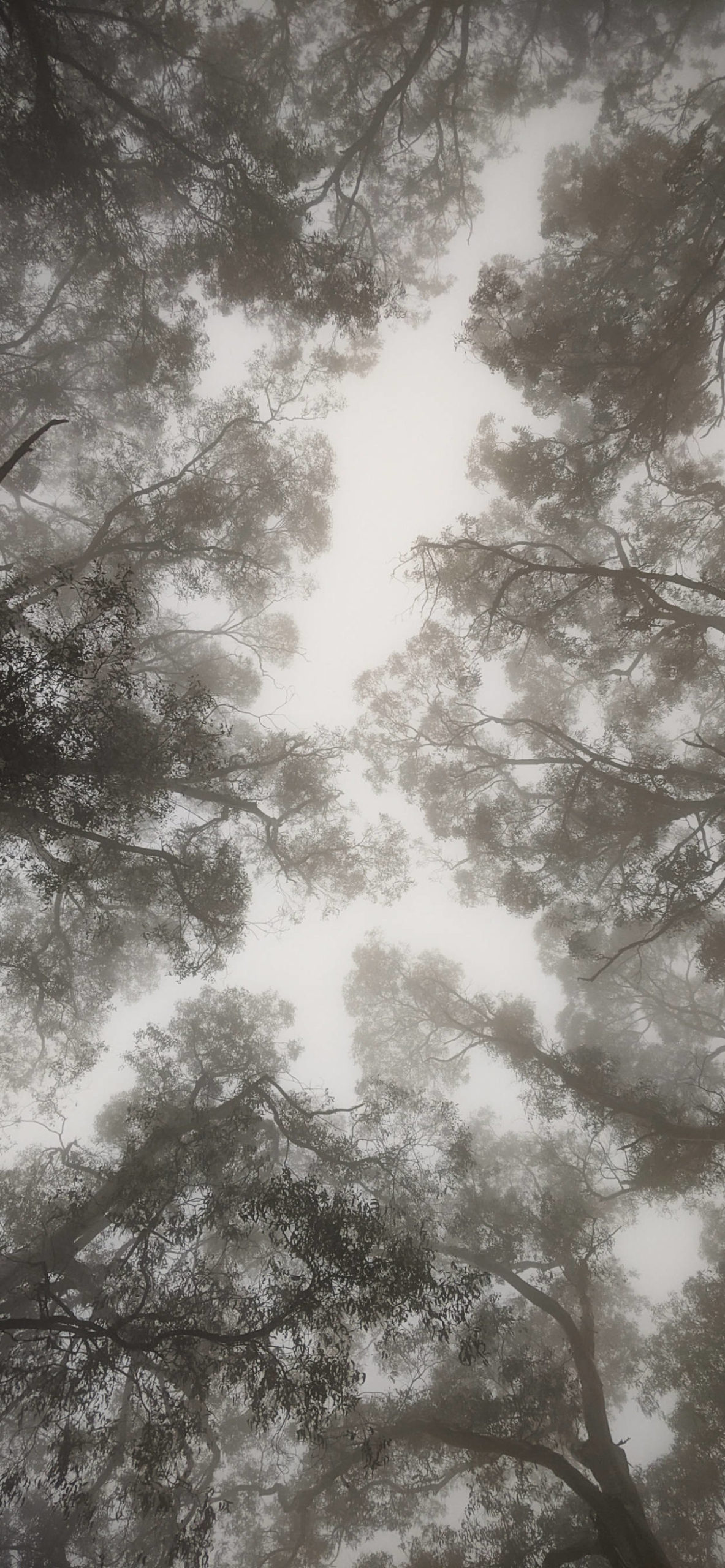 iPhone wallpapers trees fog scaled Fog