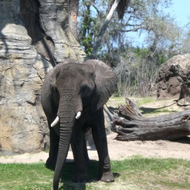 Elephant at the safari
