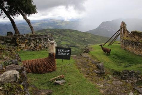 Llamas (or alpacas) do not respect signs.