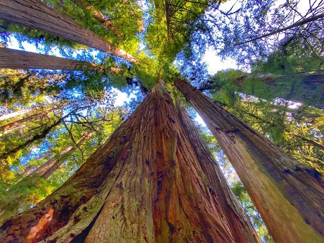 Looking up at the tall trees in Jedediah Smith Redwoods State Park, California