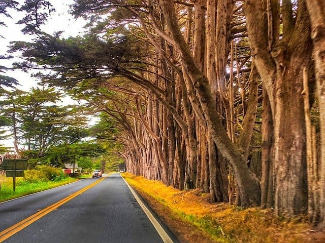 Rugged western pine trees lining the road in California.