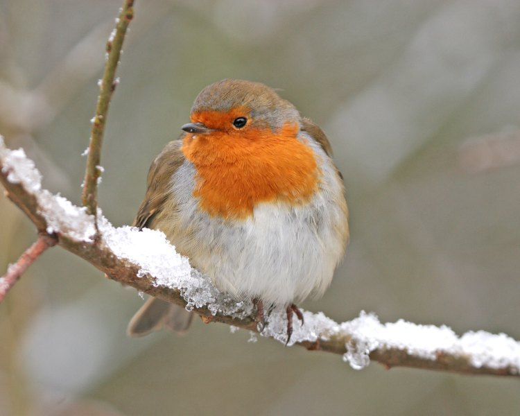 American Robin on snow dusted branch
