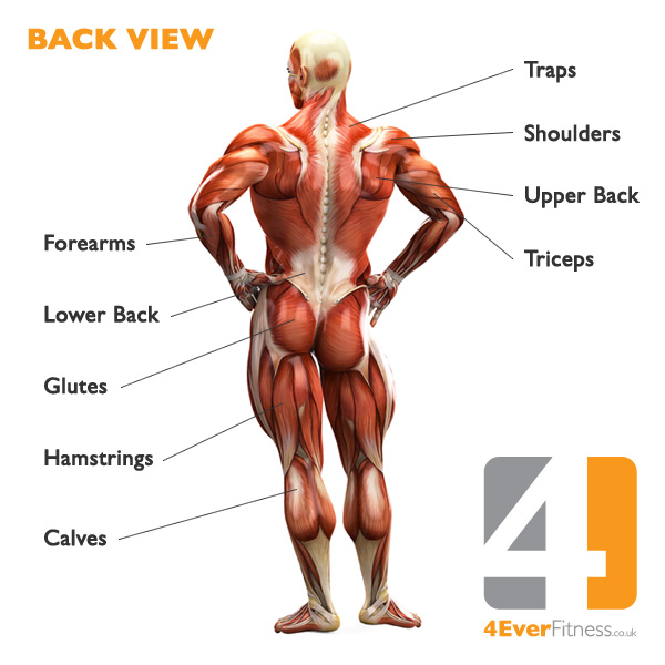 Image result for big muscles diagram