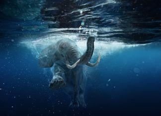 Elefant schwimmt