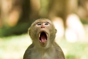 Affe mit aufgerissenem Maul