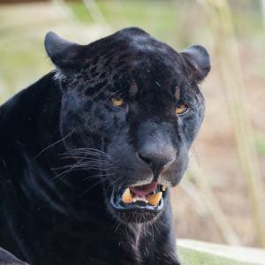 Ein schwarzer Panther, der die Zähne zeigt