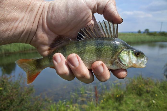 Mann hält Fisch in der Hand