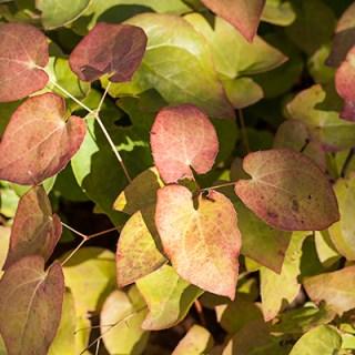 Epimedium x versicolor, höstfärg