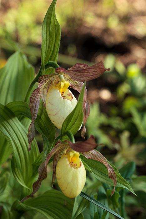 Guckuskor kommer blomma i rabatten
