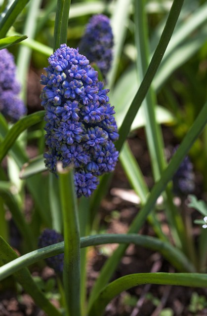 Muscari Fantasy Creation?
