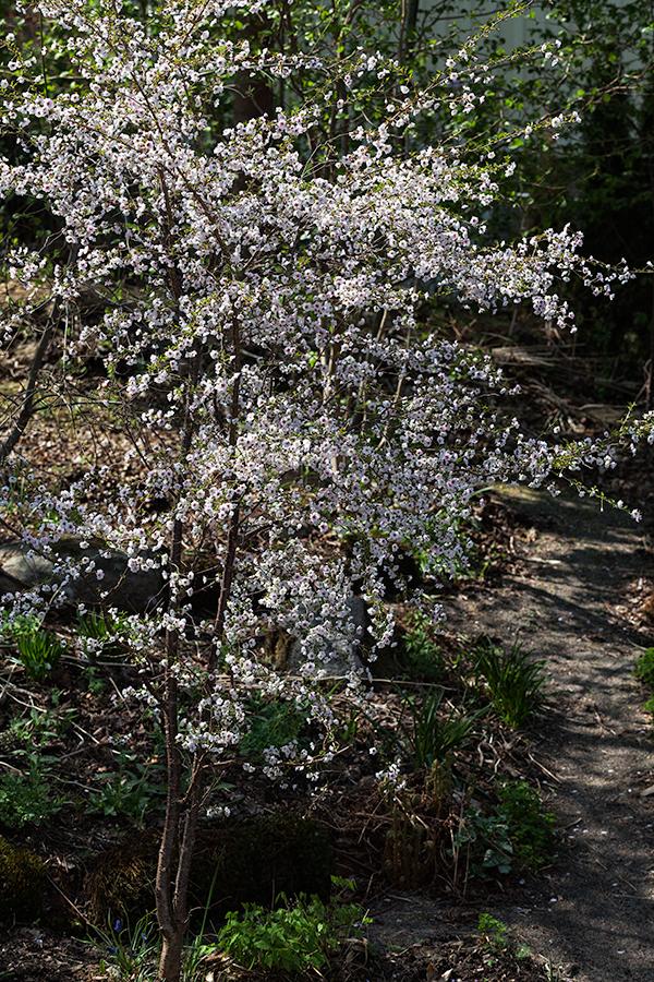 Maj - Körsbärsblom