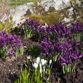 Iris histrioides 'George'